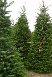 Nordmann Fir Christmas Tree Between 8' - 9'  feet tall