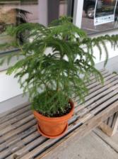Norfolk Island Pine in a Terracotta planter