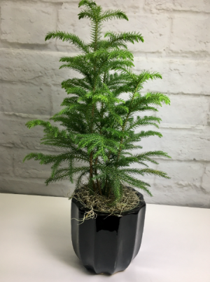 Norfolk Island Pine in Black Pottery  Araucaria heterophylla in South Milwaukee, WI | PARKWAY FLORAL INC.