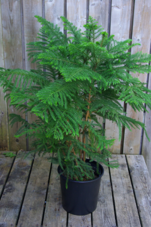 Norfolk Island Pine Large Houseplant in Corner Brook, NL | The Orchid