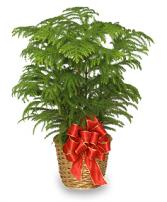 Norfolk Island Pine Plant