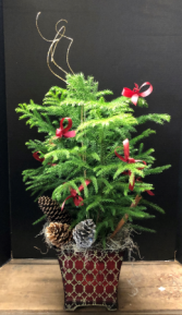 Norfolk Pine Christmas