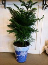Norfolk Pine in blue snowflake pot Indoor green plant