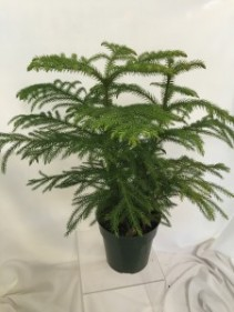 Norfolk Pine Indoor/Patio Plant