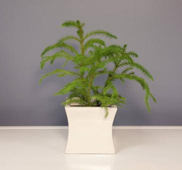 Norfolk Pine Plant
