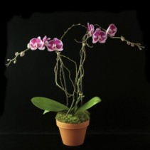 Novelty Phalaenopsis in Terra Cotta Plant & Pottery