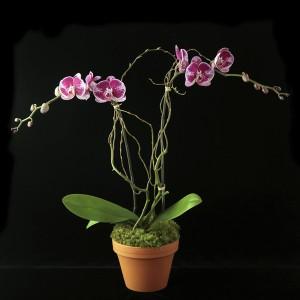 Novelty Phalaenopsis in Terra Cotta Plant & Pottery