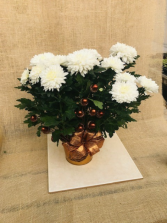 Nuts about Mums Blooming Plant