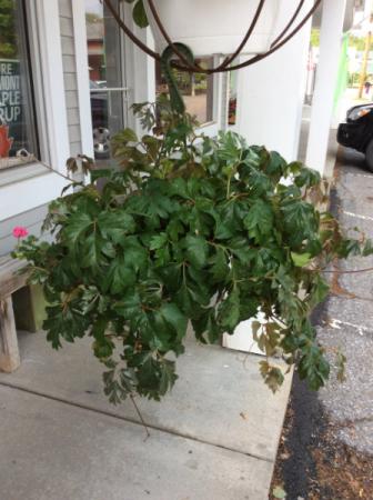 Oak leaf ivy hanging plant