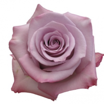 Ocean Song Lavender Rose Ravishing Rose Color Option