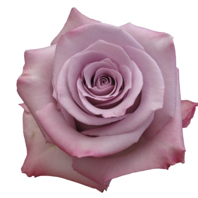 Ocean Song Lavender Rose Classic Roses Color Option