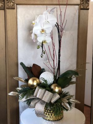 Oh Holy Night  Orchid Plant  in Woodbridge, ON | PRIMAVERA FLOWERS & MORE