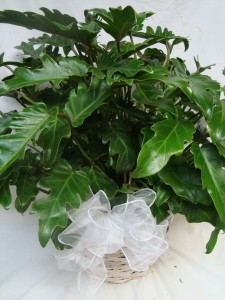 """8"""" Xanadu Philodendron in a wicker Basket with bow Large and Full."""