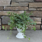 Old Fashion Ivy Green House Plant