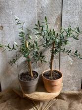 Olive plant  in Terra Cotta pot