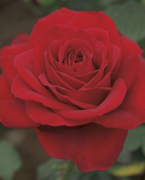 Olympiad 5 gallon - Hybrid Tea