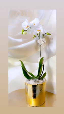 Ooh  La La orchid Ooh La La orquidea