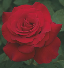 Opening Night™ 5 gallon - Hybrid Tea