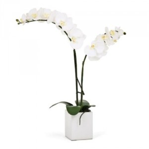 Opulent Orchid White