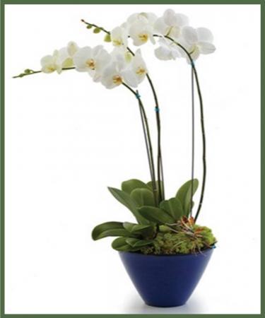 Opulent Orchid