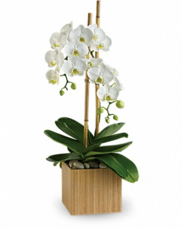 Opulent Orchid Blooming Plant