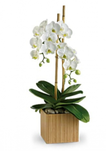 Opulent Orchids Blooming Plant