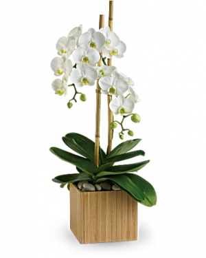 Opulent Orchids $89.99 Orchid in Sunrise, FL | FLORIST24HRS.COM