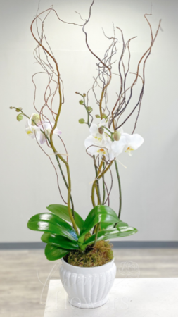 Opulent Orchids Phalaenopsis Orchid Plant in Middletown, NJ | Fine Flowers