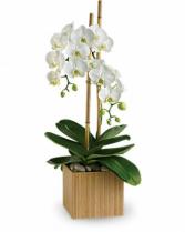 Opulent Orchids Plant