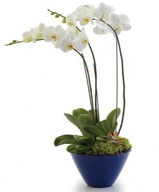 Opulent Orchids sku # BF45-11