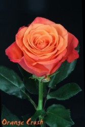 Orange Crush Rose
