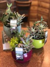 Orb Succulent Garden Plant
