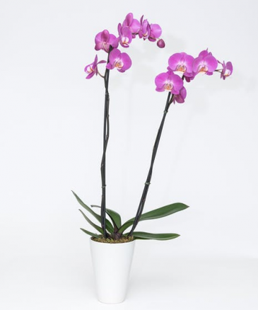 orchid 55