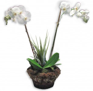 Double Orchid in natural grass basket Plant