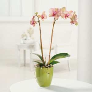 Orchid Beauty Potted orchid plant in Bend, OR | AUTRY'S 4 SEASONS FLORIST