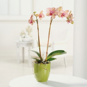Orchid Beauty Potted orchid plant