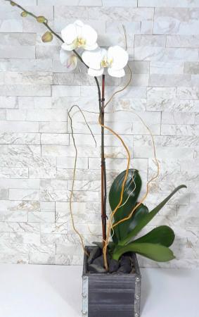 Orchid Brillance