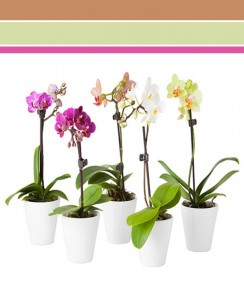 "Orchid Color - 4"" Pot Plant"