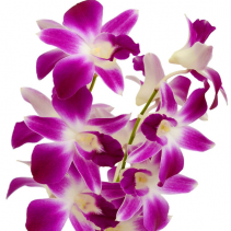 Orchid - Dendrobium  Bunch