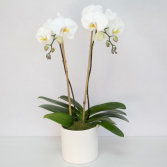 Orchid, Double Stem Blooming Plant