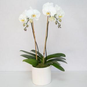 Orchid, Double Stem Blooming Plant in Tulsa, OK | THE WILD ORCHID FLORIST