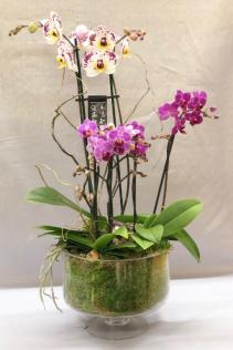 Orchid Enchantment Plant