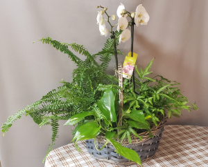 Orchid & Greens Plant Basket in Croton On Hudson, NY | Cooke's Little Shoppe Of Flowers