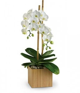 Orchid Grower Delight Orchid Plant in Port Stanley, ON | FLOWERS BY ROSITA
