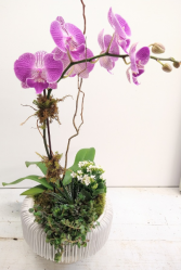 Orchid in Artistic Ceramic Modern Container