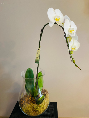 orchid in Glass PLANT in Airdrie, AB | Flower Whispers