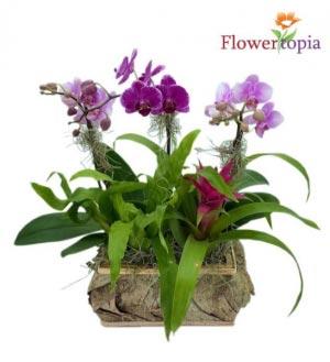 Orchid Island Orchid Plant in Miami, FL | FLOWERTOPIA