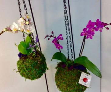 Orchid Kokedama Ball