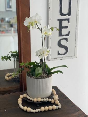 Orchid Living Plants