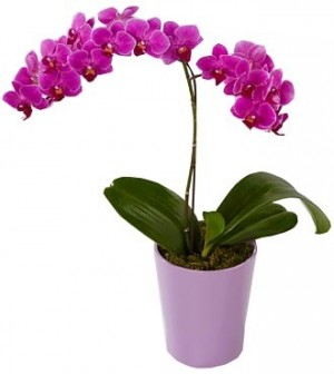 ORCHID PHALAENOPSIS PLANT in Bethesda, MD | Ariel Bethesda Florist & Gift Baskets